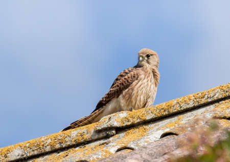 Common Kestrel on an old roof