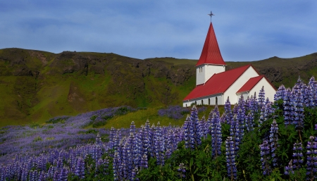 lupins: church surrounded by Lupins and flowers in Iceland
