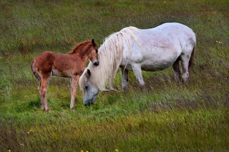 seemed: This foal seemed to be so fond of it s mother and kept touching her  She was so beautiful with her mane hanging to the ground, they are Icelandic horses  Stock Photo