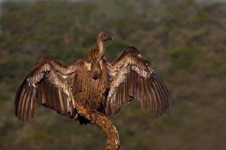 a large bird of prey: Vulture si espone al sole dopo un buon pasto sul ramo
