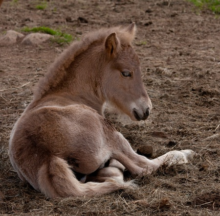 Foal lying down in the grass photo