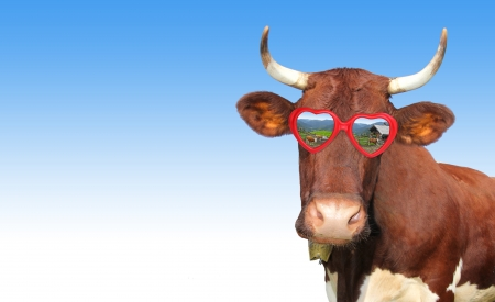 Funny cow with red heart shaped spectacles, against blue gradient background photo