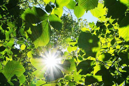 Sunburst through green beech leaves at springtime