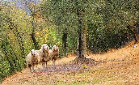Three sheeps, standing in a olive grove photo