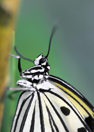 lepidoptera: Closeup of sitting black and white structured tropical butterfly, Lepidoptera Idea leuconoe  Stock Photo