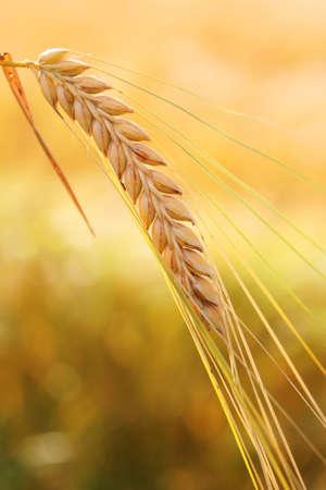corn ear: Una mazorca de ma�z contra cornfied, color dorado, en �poca de cosecha