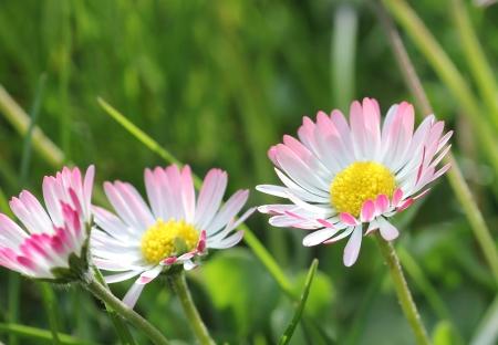 정원 잔디에 데이지 꽃의 근접 촬영 스톡 콘텐츠