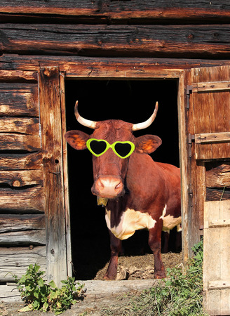 Funny cow with heart shaped eye glasses in a cow barn door