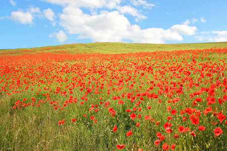 Red poppy field against blue sky with clouds, summer landscape photo