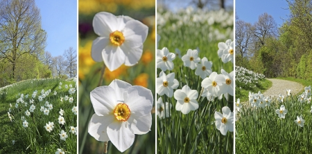 Collage of four pictures  wild white narcissus flowers in a springtime park photo