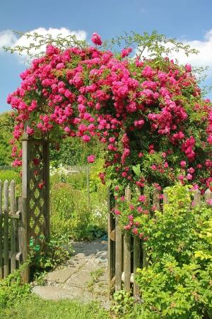 Bloeiende rode klimroos op een gebogen ingang naar de tuin