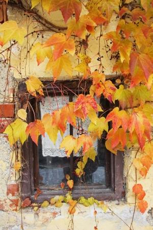 wijnbladeren: Oud huisje venster met herfst gekleurde wijnbladeren Stockfoto