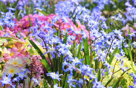 Springlike flower bed with cowslip, primula and scilla, pastel colored  photo