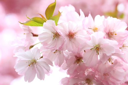 Japanese cherry tree blossom full bloom photo