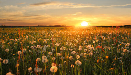 withered dandelion hayfield at sunset