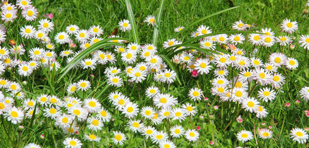 blotched: Garden lawn, blotched with daisy flowers  Stock Photo