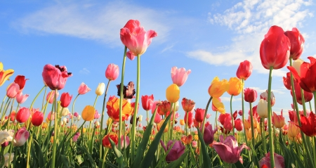 Beautiful tulip field multicolor against blue sky with clouds Stockfoto