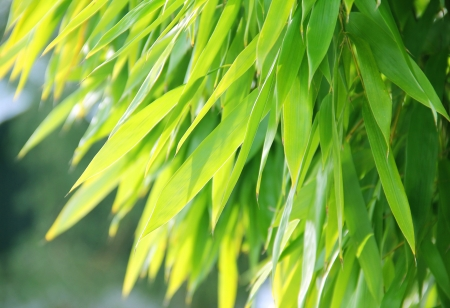 Shiny bamboo leaves with back lighting photo