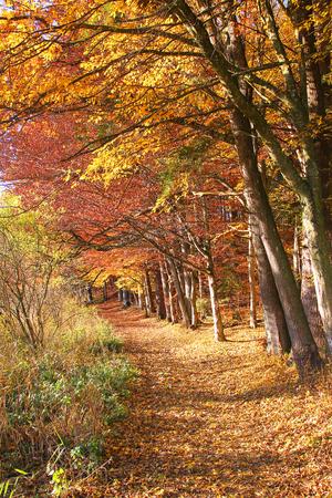 percorso nel bosco autunnale faggio, germania