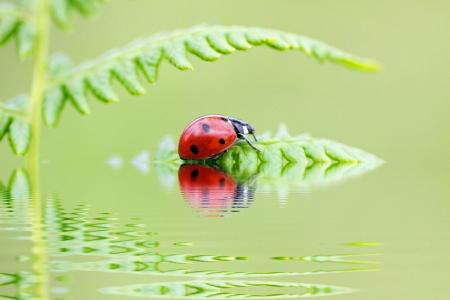 lady bird sitting on a fern leaf, with water reflection photo