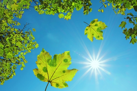 eco concept: crown of a maple tree and falling maple leaves, against blue sky with bright sunshine  natural background