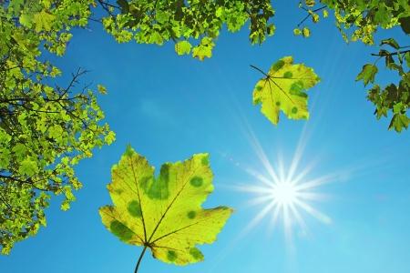 Krone von einem Ahornbaum und fallenden Ahornblätter, gegen den blauen Himmel mit strahlendem Sonnenschein natürlichen Hintergrund