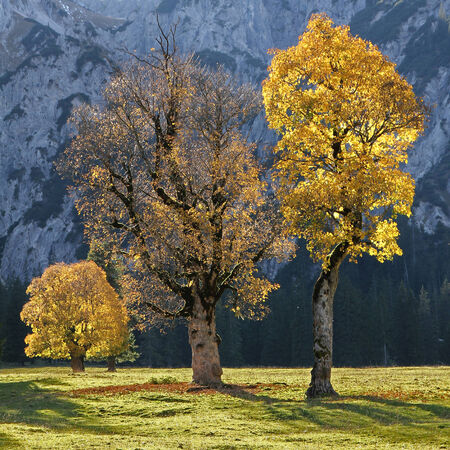 back lighting: old cracked maple trees on a valley bottom in the austrian alps, autumnal trees with back lighting  Stock Photo