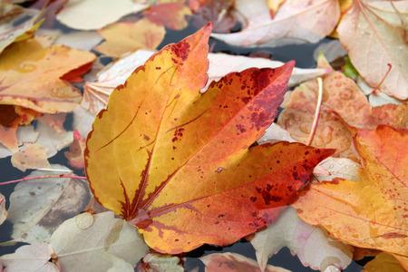 wijnbladeren: herfst wijnbladeren in een vijver