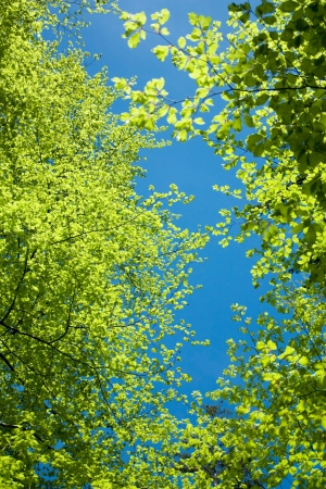 view from below: beech tree branches and blue sky, view from below