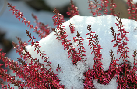 blooming calluna vulgaris with snow cover photo