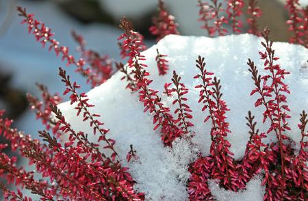 erica: blooming calluna vulgaris with snow cover Stock Photo