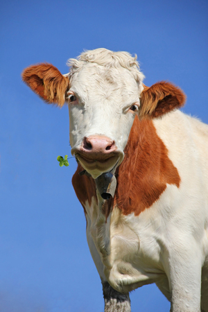 closeup cow face: brown and white checkered lucky cow with a four leaf clover, against blue sky