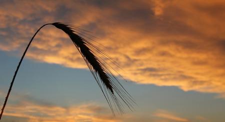 sich b�cken: Gerste Ohr gegen hellen goldenen Wolken am Abend Lizenzfreie Bilder