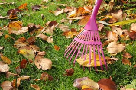 Raking autumnal leaves at garden lawn