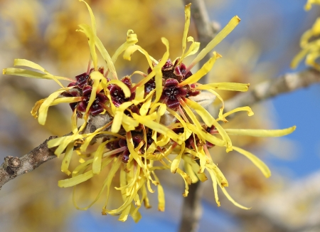 Blooming yellow witch hazel in february