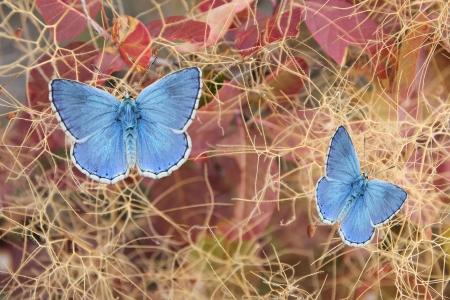 Two beautiful butterflies, polyommatus eros on fustet shrub in autumnal colors