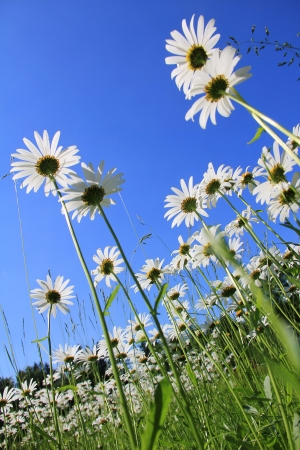 Marguerite Meadow against blue sky, view from below  photo