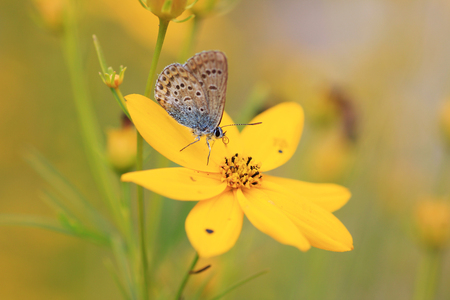 Common Blue  Polyommatus icarus  on a oxeye flower with closed wings photo