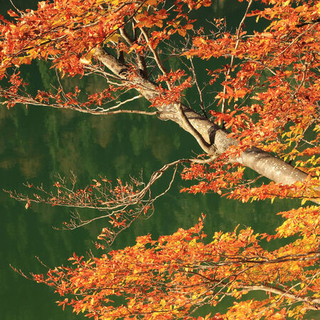 beech tree: Autumnal branches of a beech tree, against tranquil green water