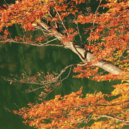 Rami autunnali di un albero di faggio, contro acqua verde tranquillo Archivio Fotografico