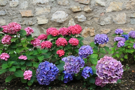Red and blue hydrangea flowers against stone wall  photo