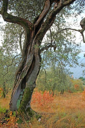 Old weathered olive tree in the olive grove, italy  photo