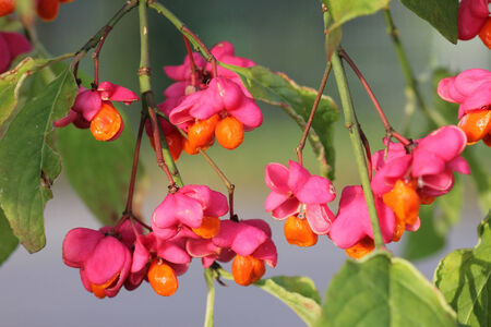 branch with fruit of european spindle tree in autumn photo