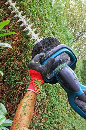 hedge clippers: Detail of cutting thuja hedge with hedge clippers, professional worker