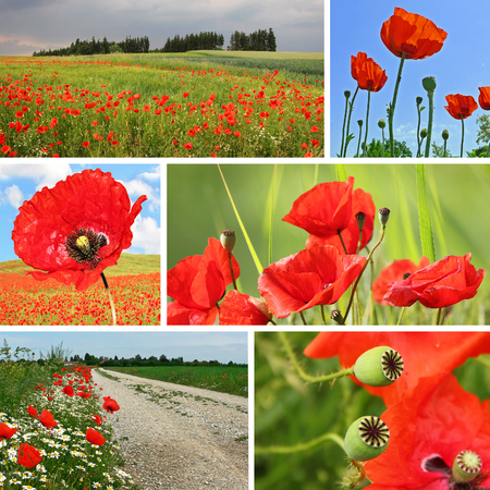 collage red poppies in the field  photo