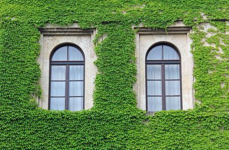 old house facade overgrown with ivy leaves, two arched windows  Stockfoto