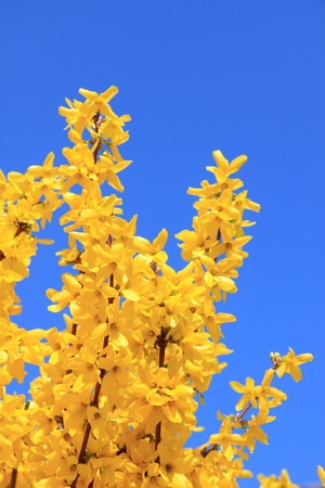 full bloom forsythia bush at springtime, against blue sky