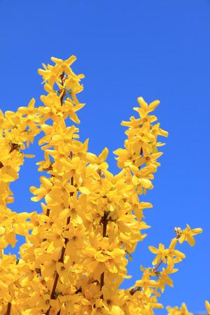 full bloom forsythia bush at springtime, against blue sky