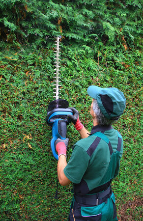 hedge clippers: gardener cutting thuja hedge with hedge clippers  back view  Stock Photo
