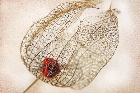 transience: dried filigree bladder cherry and beige background